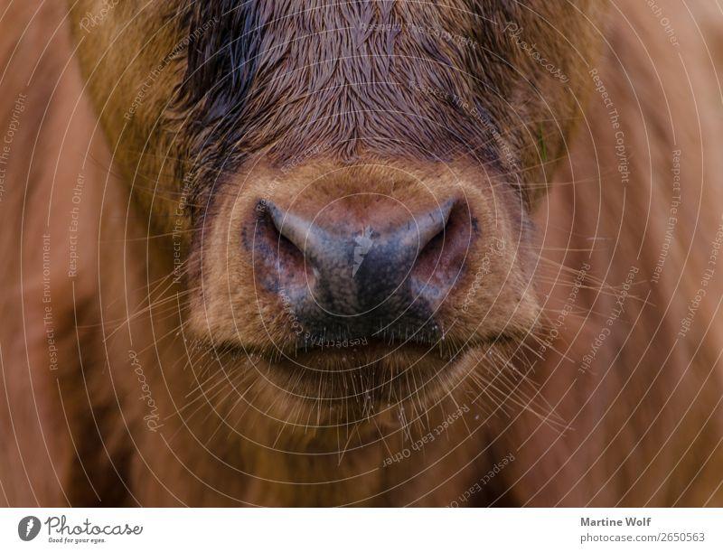 Bartstoppeln Umwelt Natur Tier Nutztier Tiergesicht Kuh Kalb braun schön Europa Gorßbritannien Schottland Maul Nase Barthaare unrasiert Farbfoto Gedeckte Farben