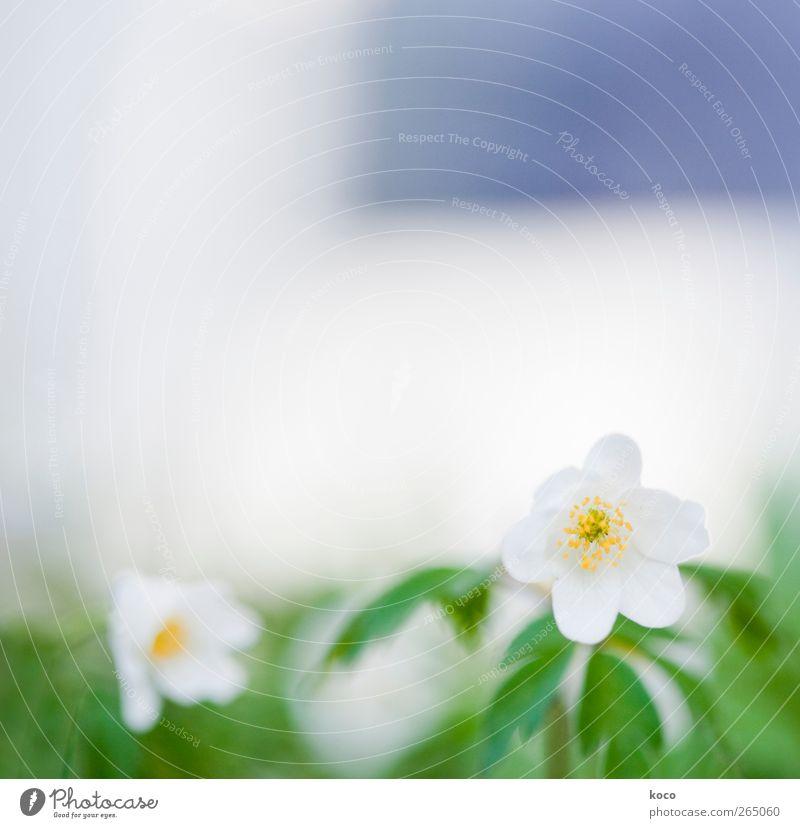 Schneeweißchen Umwelt Natur Pflanze Frühling Schönes Wetter Blume Blatt Blüte Buschwindröschen Blühend Duft verblüht Wachstum authentisch eckig einfach