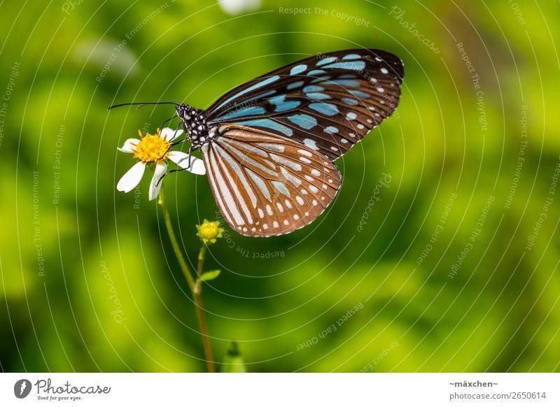 Schmetterling Natur Pflanze Tier Blüte Flügel 1 Erholung Fressen sitzen schön nah blau braun mehrfarbig grün Makroaufnahme Detailaufnahme Fühler Muster Punkt