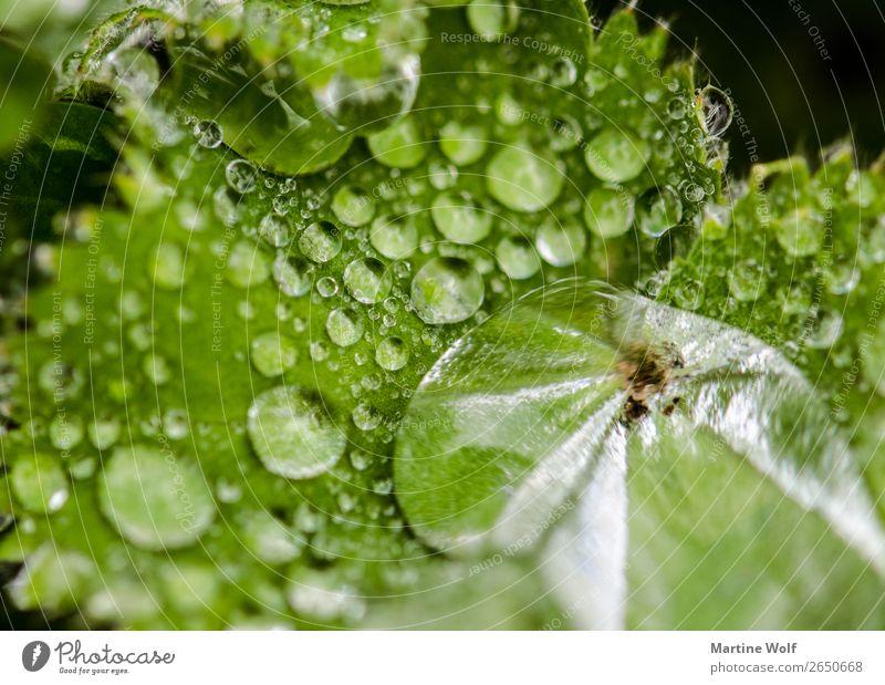 Perlen des Lebens Umwelt Natur Urelemente Wasser Wassertropfen Pflanze Blatt Grünpflanze grün Europa Gorßbritannien Loch Torridon Schottland Farbfoto