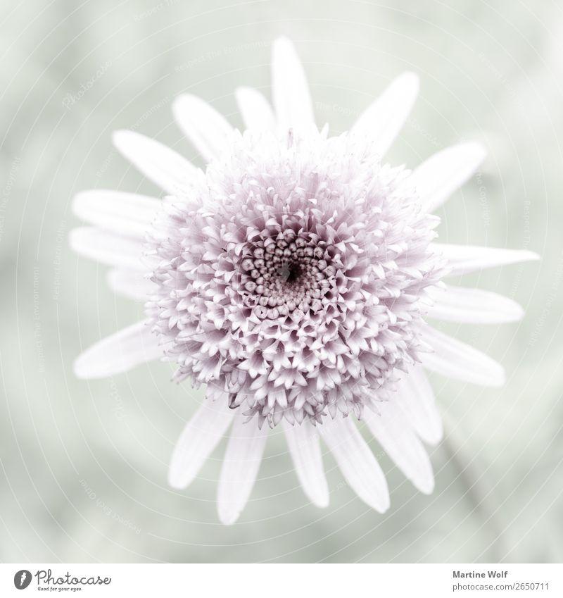 zarte Schönheit Kunstwerk Natur Pflanze Blume Blüte Stimmung Coolness schön achtsam ruhig Reinlichkeit Sauberkeit Reinheit bescheiden Sehnsucht Einsamkeit