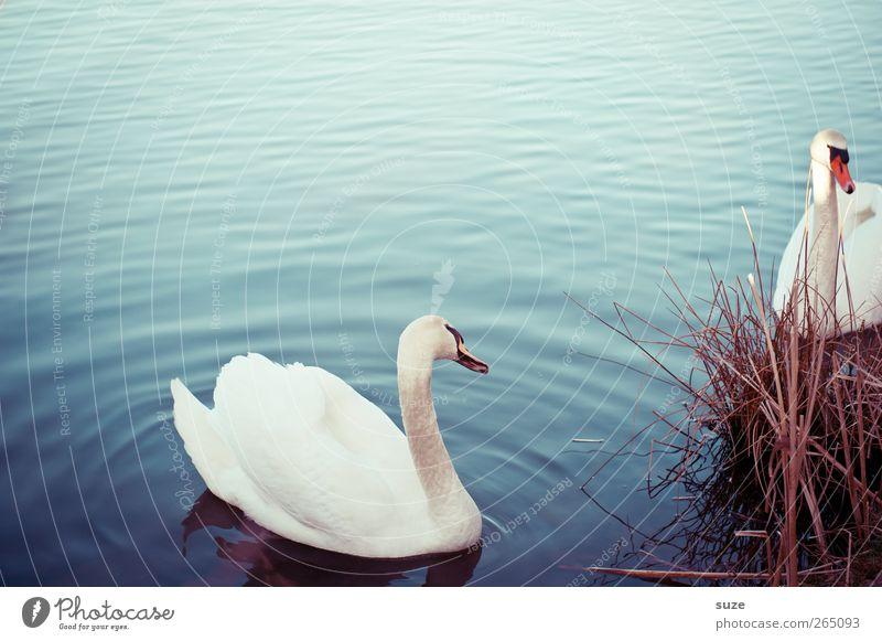 *Schöne Augen mach* Umwelt Natur Tier Wasser Gras Seeufer Wildtier Vogel Schwan 2 Tierpaar beobachten ästhetisch schön blau weiß Stimmung Feder Schwanensee