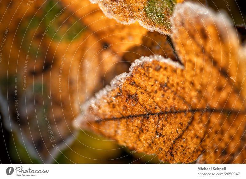 Herbstfarbenblatt Umwelt Natur Pflanze Blatt Wald authentisch einfach kalt natürlich trocken braun Vergänglichkeit gefroren Farbfoto Außenaufnahme Nahaufnahme