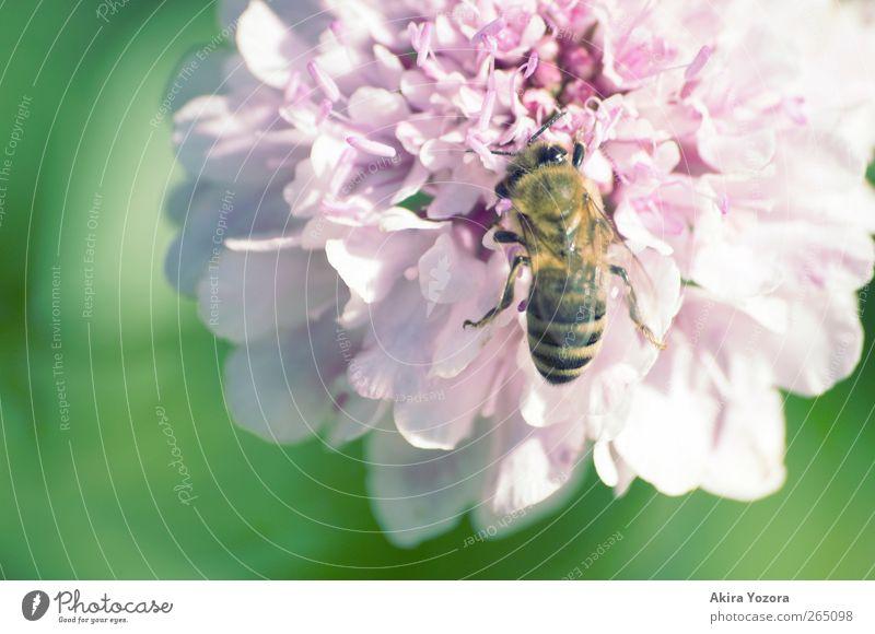 Fleißiges Bienchen Natur grün Sommer Blume Tier schwarz gelb Frühling Garten Blüte Arbeit & Erwerbstätigkeit rosa natürlich Schönes Wetter violett Blühend