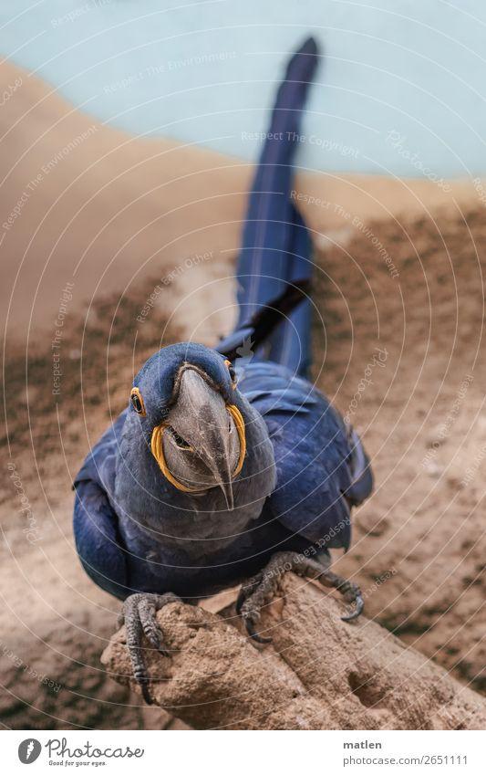 Anodorhynchus hyacinthinus Sand Tier Vogel 1 sitzen schön blau braun Hyazinthara Ara zuwenden Neugier Papageienvogel Farbfoto Außenaufnahme Nahaufnahme