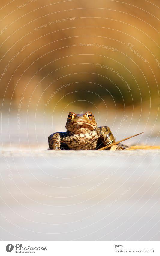 Froschperspektive Wildtier 1 Tier nass weich Natur Kröte Farbfoto Außenaufnahme Nahaufnahme Menschenleer Textfreiraum oben Textfreiraum unten Tag