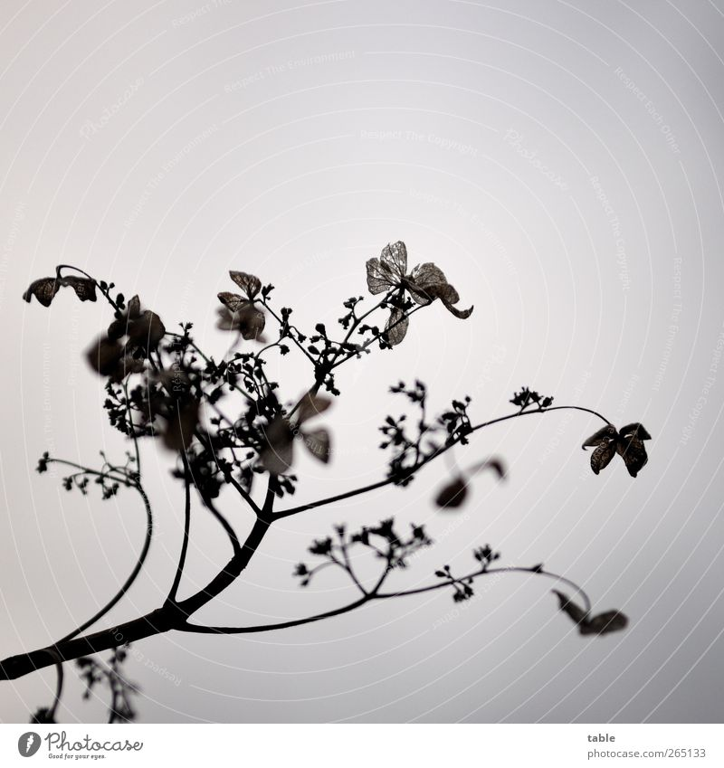unbuntes Gestrüpp Himmel Natur alt Pflanze Blume Winter Blatt schwarz Umwelt dunkel Herbst grau Blüte braun natürlich ästhetisch