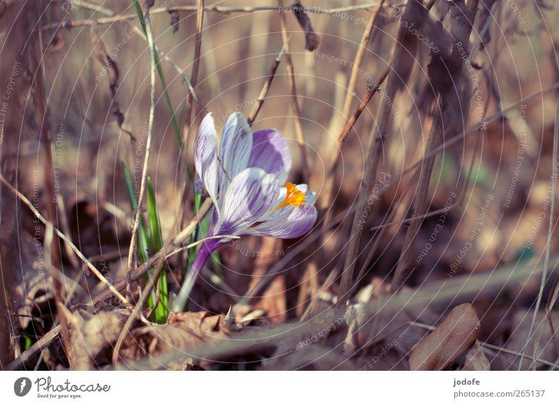 au revoir tristesse Natur weiß Pflanze Sonne Blume Umwelt Frühling Wachstum leuchten Schönes Wetter violett Blühend Lebensfreude vertrocknet Krokusse sprießen