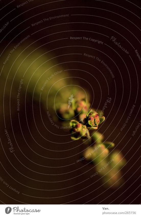 Komm ins Licht Natur Pflanze Frühling Sträucher Blatt Blütenknospen Zweig Garten Wachstum braun gelb grün Farbfoto Gedeckte Farben Außenaufnahme Nahaufnahme