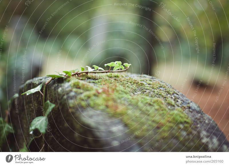 kletterer Umwelt Natur Pflanze Moos Efeu Blatt Garten Park Friedhof Stein Wachstum ruhig stagnierend Grabstein Farbfoto Gedeckte Farben Außenaufnahme