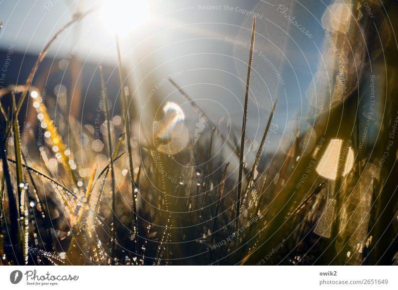 Grasland Umwelt Natur Landschaft Urelemente Luft Wassertropfen Wolkenloser Himmel Sommer Sträucher Wildpflanze Halm Wiese glänzend leuchten Wachstum dünn frisch