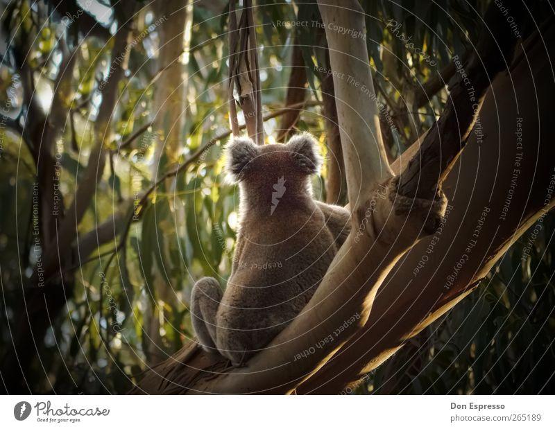 KOALA Natur Sommer Blatt Tier Ferne Freiheit Wildtier warten sitzen frei Abenteuer Schönes Wetter Urwald Australien Expedition bequem