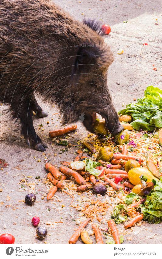 mehrere Jabalies, die Obst und Gemüse essen. Frucht Essen Jagd Umwelt Natur Tier Herbst Baum Wald Pelzmantel Nutztier Wildtier 1 dunkel wild braun Angst