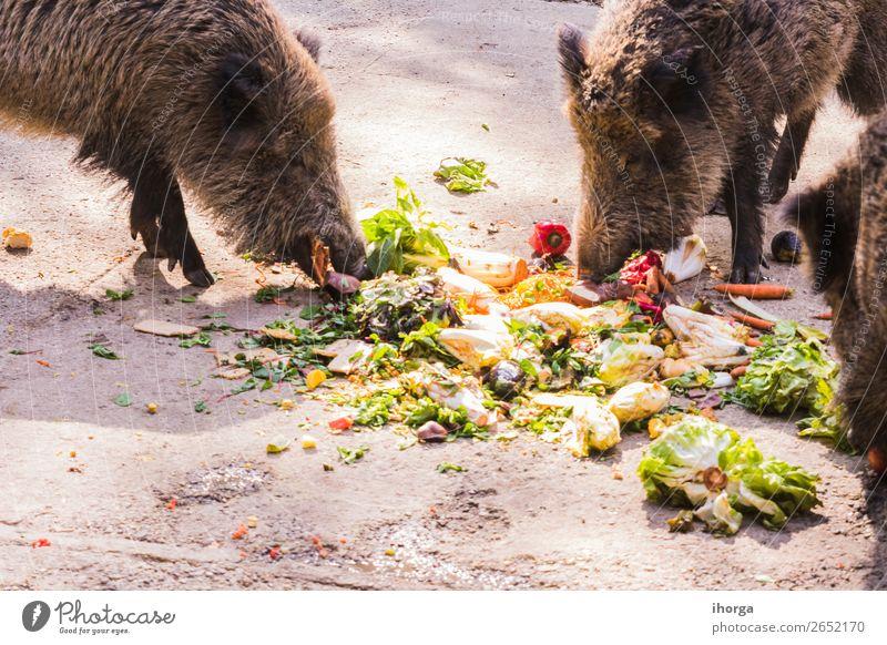 mehrere Jabalies, die Obst und Gemüse essen. Frucht Essen Jagd Umwelt Natur Tier Herbst Wald Pelzmantel Nutztier Wildtier 2 dunkel wild braun Angst gefährlich