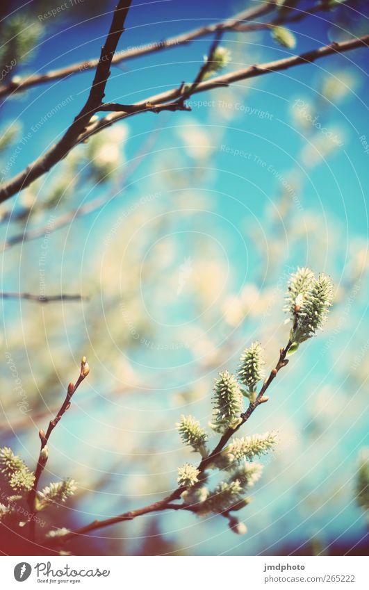 Offene Knospen am Stock Natur Pflanze Frühling Blüte hell blau frisch Blütenknospen Weide Weidenkätzchen Blühend Farbfoto Außenaufnahme Lomografie Holga