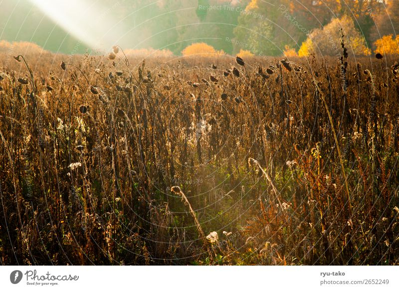 Zwischen Sommer und Herbst II Natur Landschaft Pflanze Sonnenlicht Schönes Wetter Wärme Nutzpflanze Sonnenblume Sonnenblumenfeld Feld trocken wild Zufriedenheit