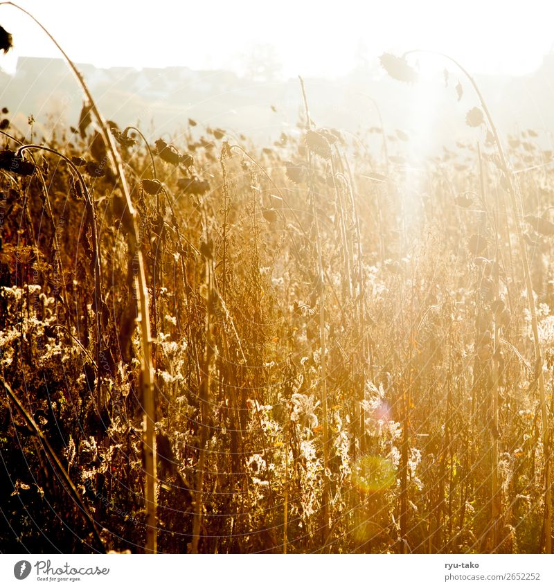 Zwischen Sommer und Herbst III Natur Pflanze Nutzpflanze Sonnenblume Sonnenblumenfeld Feld ästhetisch trocken Wärme Zufriedenheit Gelassenheit geduldig ruhig