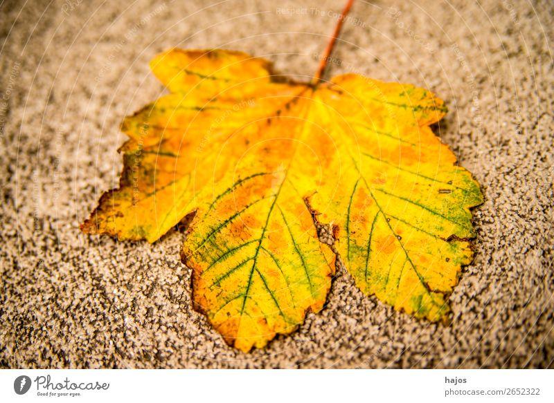 Ahornblatt in Herbstfarben Design Natur Baum weich gelb verfärbt herbstlich gefallen Strasse Jahreszeit golden Farbfoto Außenaufnahme Tag