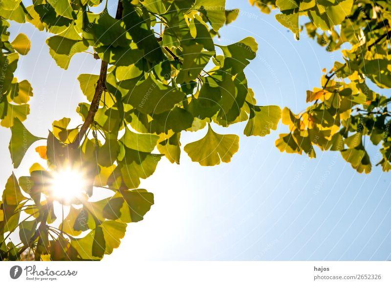 Ginkgo, chinesischer Medizinbaum im Gegenlicht Natur Pflanze Baum gelb grün Gingko Blätter Sonne Strahlen Herbst Nahaufnahme medizinisch Heilpflanze asiatisch