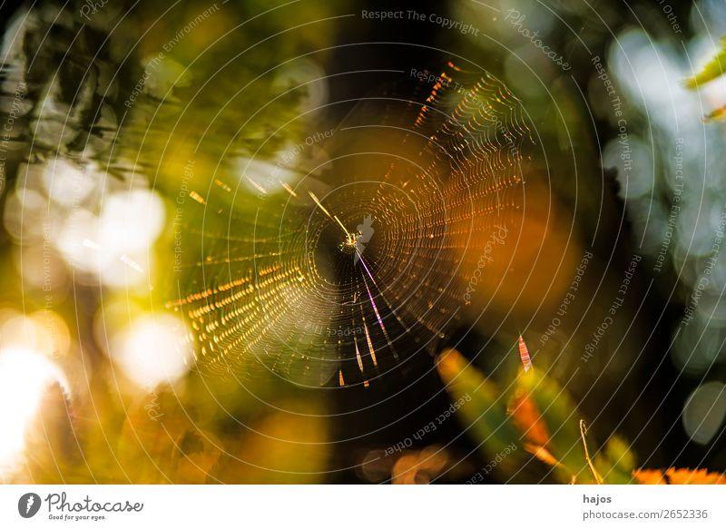 Spinnennetz im Herbst im Gegenlicht Natur gelb Idylle Radnetz Netz strahlend herbstlich golden bunt sanfte Farben leuchtend Reflexionen Farbfoto Außenaufnahme