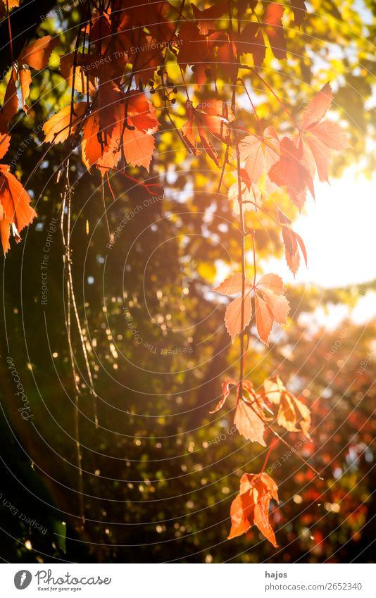 wilder Wein in Herbstfarben Natur Pflanze Mauer Wand rosa rot Wilder Wein gefärbt herbstlich bunt sonnig Gegenlicht hell jahreszeit Blatt Farbfoto Außenaufnahme