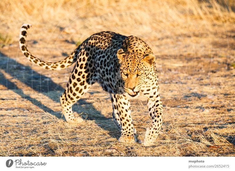Leopard #13 Natur Tier Reisefotografie Tourismus Wildtier laufen gefährlich beobachten bedrohlich Afrika Safari Namibia Landraubtier Raubkatze Wildkatze