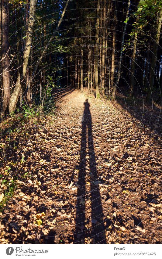 Illusion| Mensch mit ganz langen Beinen auf einem Waldweg Weg Herbst Bäume Licht abends Abendsonnenlicht fotografierend lange Beine Schatten Spaziergang wandern