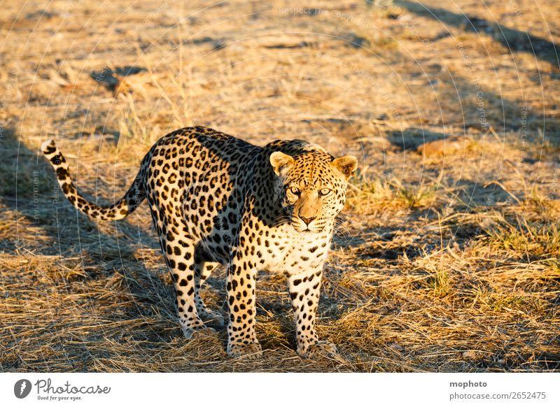 Leopard #11 Natur Tier Reisefotografie Tourismus Wildtier laufen gefährlich beobachten bedrohlich Afrika Safari Namibia Landraubtier Raubkatze Wildkatze
