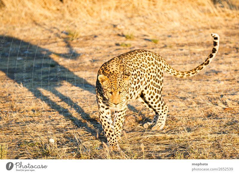 Leopard #9 Tourismus Safari Natur Tier Wildtier beobachten laufen gefährlich Afrika Namibia Raubkatze blickkontakt lauert leopardenfell portrait Landraubtier