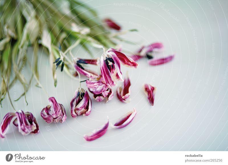 wer den knacks sieht. Pflanze elegant ästhetisch Vergänglichkeit Tulpe Sorge Liebeskummer vertrocknet