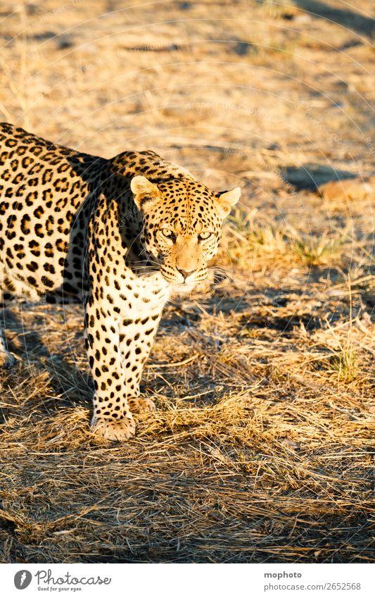 Leopard #8 Tourismus Safari Natur Tier Wildtier beobachten gefährlich Afrika Namibia Raubkatze blickkontakt lauert leopardenfell portrait Landraubtier reise