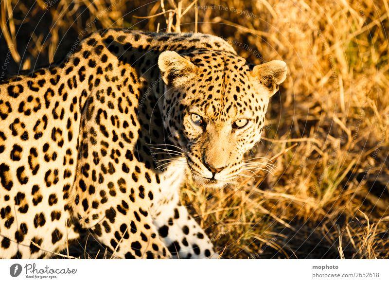 Leopard #7 Natur Tier Tourismus Wildtier sitzen gefährlich beobachten Afrika Safari Namibia Landraubtier Raubkatze Wildkatze