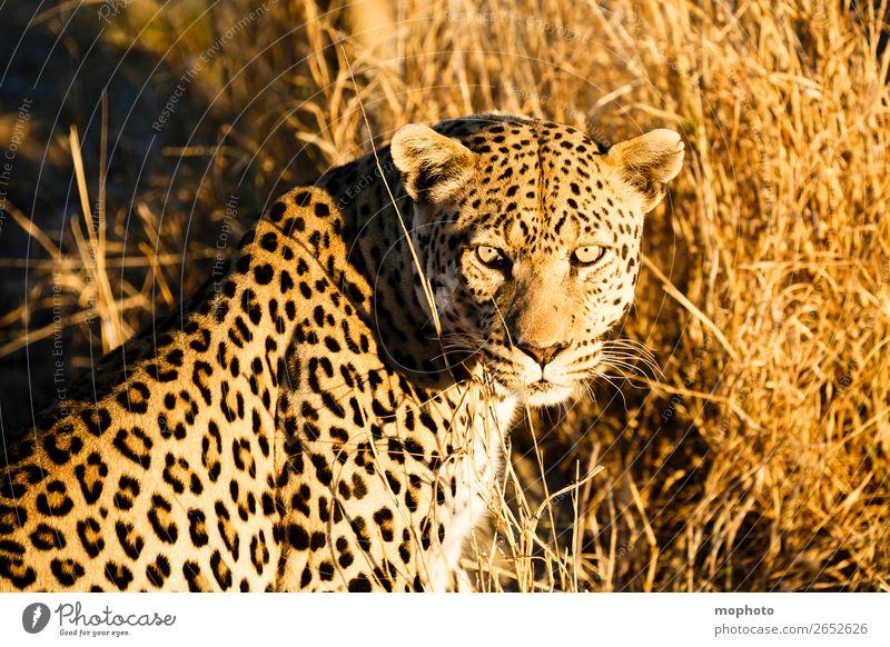 Leopard #6 Tourismus Safari Natur Tier Wildtier beobachten sitzen gefährlich Afrika Namibia Raubkatze blickkontakt lauert leopardenfell portrait Landraubtier