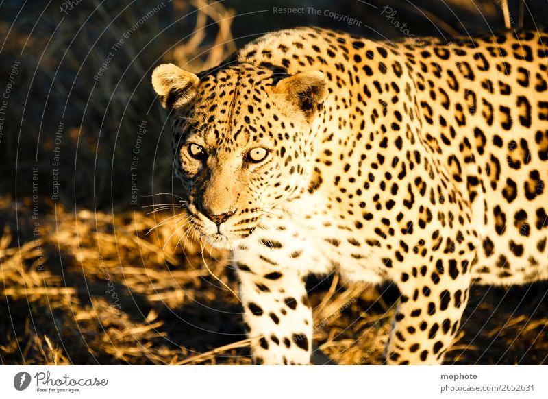 Leopard #5 Tourismus Safari Natur Tier Wildtier beobachten gefährlich Afrika Namibia Raubkatze blickkontakt lauert leopardenfell portrait Landraubtier reise