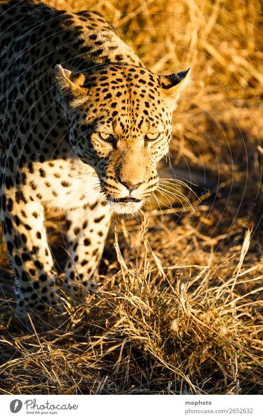 Leopard #4 Tourismus Safari Natur Tier Wildtier beobachten sitzen gefährlich Afrika Namibia Raubkatze blickkontakt lauert leopardenfell portrait Landraubtier