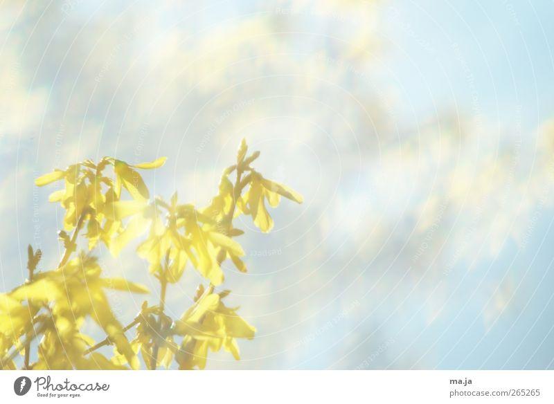 Fototapete Frühling [ Nummer Dreißig] Himmel Natur blau Pflanze gelb Umwelt Luft Sträucher Schönes Wetter Forsithie