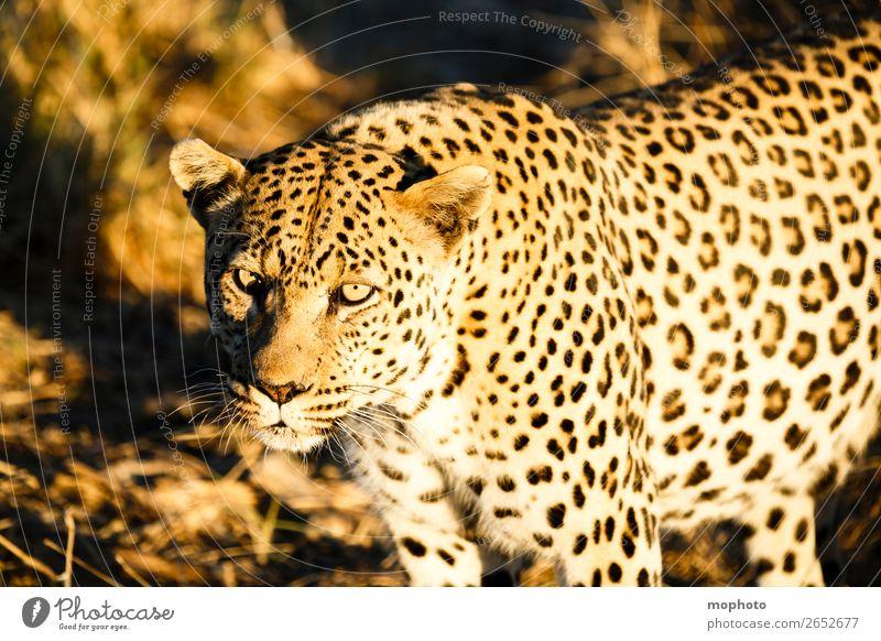 Leopard #3 Tourismus Safari Natur Tier Namibia Wildtier Tiergesicht 1 beobachten gefährlich bedrohlich Ferien & Urlaub & Reisen Afrika Raubkatze blickkontakt