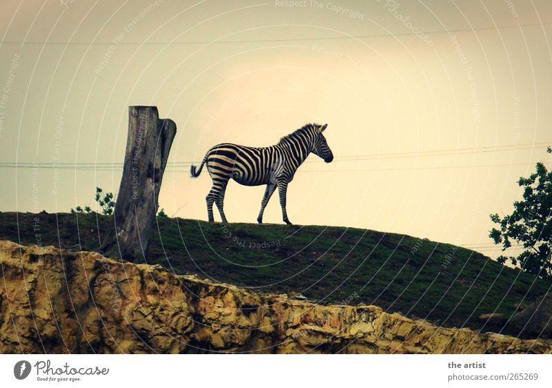 Zebra Natur Tier stehen Zoo Stolz