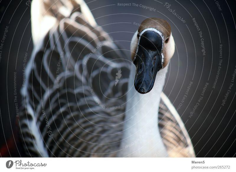 Gänsegeschnatter Natur weiß Tier grau Glück braun Schwimmen & Baden Wildtier frei Flügel Freundlichkeit Gans