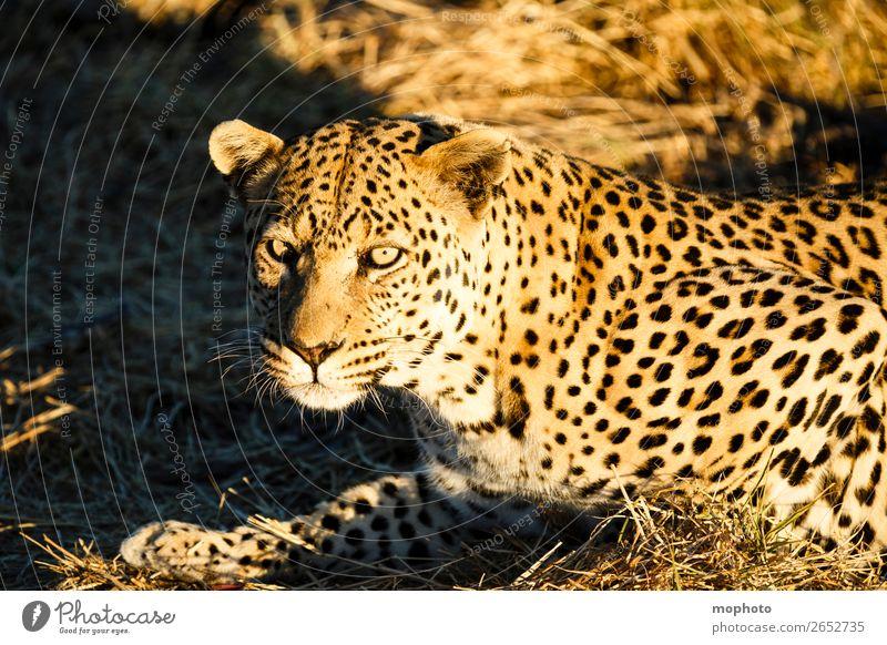 Leopard #2 Tourismus Safari Natur Tier Gras Wildtier Tiergesicht 1 beobachten liegen gefährlich bedrohlich Afrika Namibia Raubkatze ausruhen blickkontakt lauert