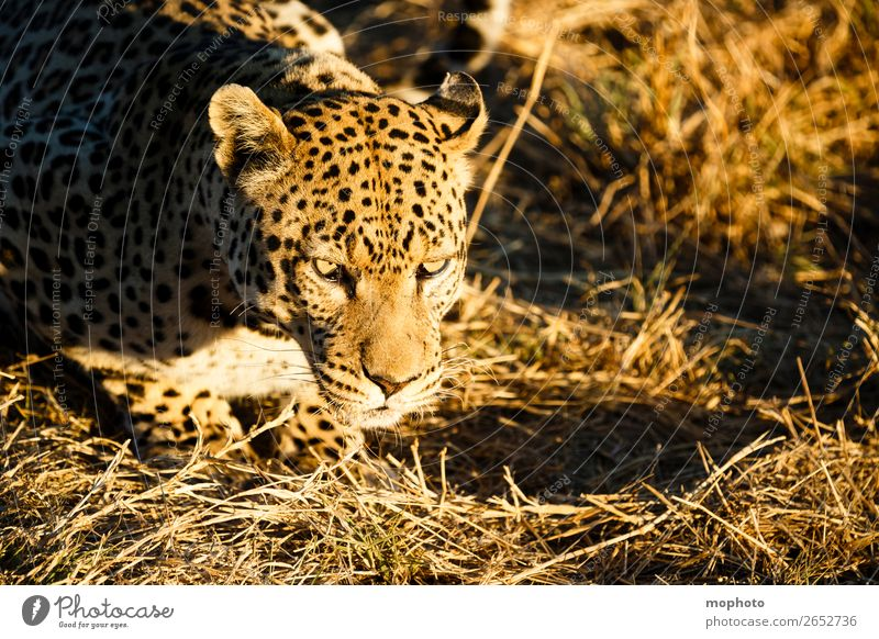 Leopard #1 Natur Tier Gras Tourismus liegen Wildtier gefährlich beobachten bedrohlich Afrika Tiergesicht Safari Namibia Landraubtier Raubkatze
