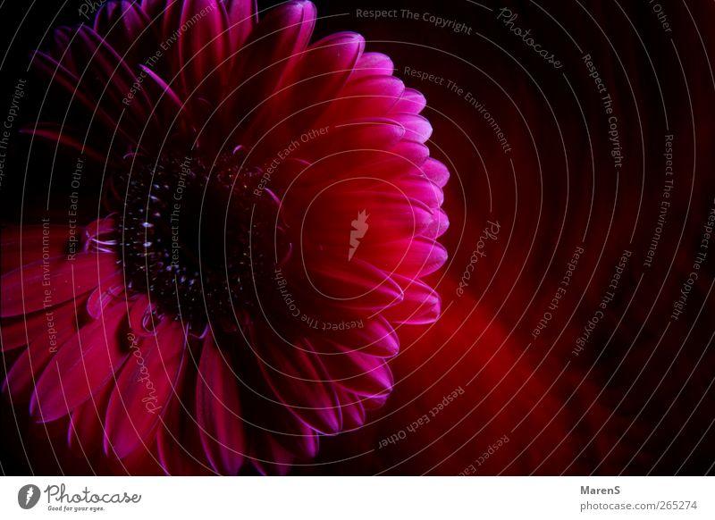die Seele der Blume Natur blau schön Pflanze schwarz Blüte Stimmung rosa