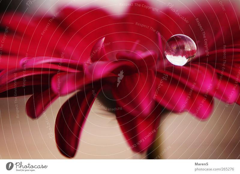 Ein Tropfen Liebe.. Natur Blume Gefühle Frühling Blüte rosa Duft