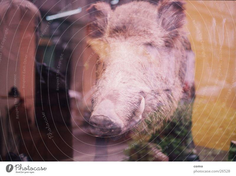 jagdberechtigung für's spiegelschwein Spiegelbild Wildschwein Schaufenster Reflexion & Spiegelung Totes Tier Tierpräparat Kopf tierisch