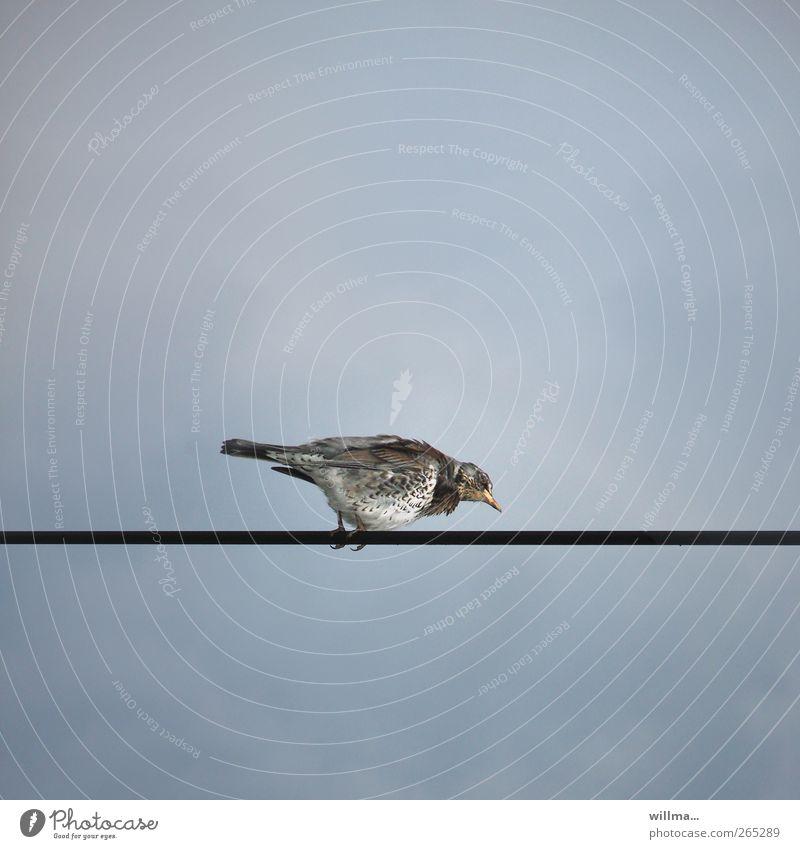 Schnapsdrossel beim Idiotentest Wacholderdrossel to walk the line Sturm Oberleitung Leitung Stahlkabel Vogel Drossel Gratwanderung linientreu beobachten