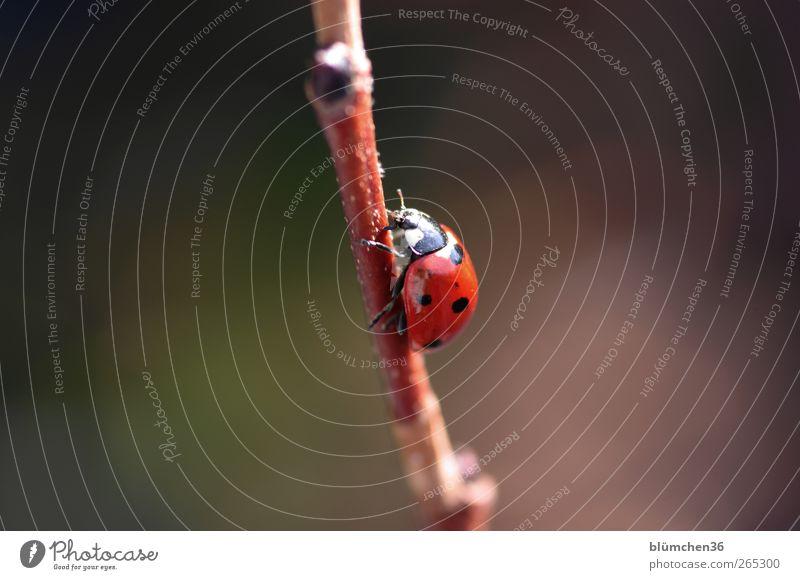 Ab jetzt geht´s steil bergauf!!! Natur Frühling Sommer Tier Käfer Marienkäfer 1 Zeichen Glücksbringer ästhetisch positiv rot Gefühle Fröhlichkeit Lebensfreude