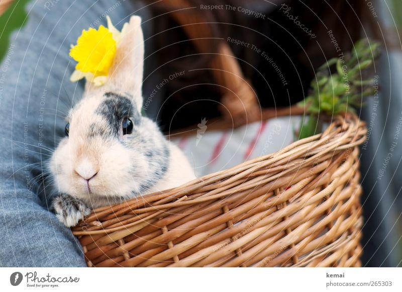 Würdevoll Natur Blume Tier gelb Ostern niedlich Tiergesicht Hase & Kaninchen Haustier Pfote Korb Osterhase Hasenohren Weidenkorb Zwergkaninchen
