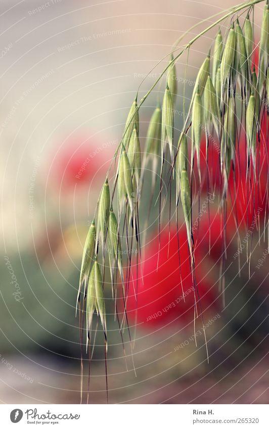 HaferMohn Natur Landschaft Pflanze Sommer Schönes Wetter Blume Blüte Nutzpflanze Wildpflanze Mohnblüte Haferähre Wiese Feld Blühend hängen Wärme gelb rot
