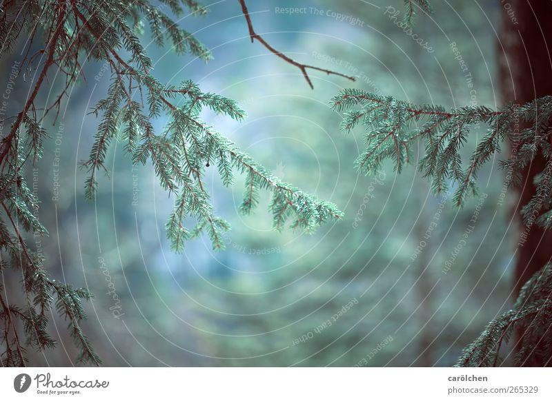 Es war einmal... Natur blau grün Wald Umwelt Landschaft braun einfach geheimnisvoll fantastisch Nadelbaum Tannennadel Zweige u. Äste Nadelwald Tannenzweig