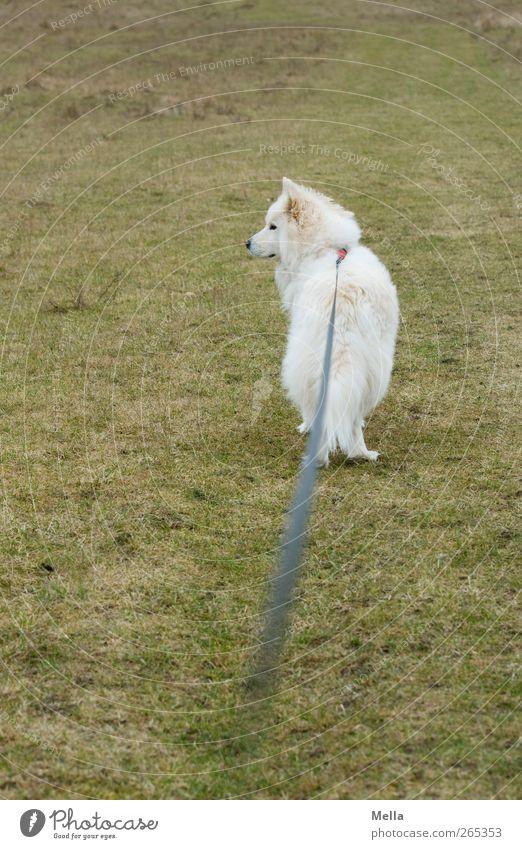 Hasenpause - Lange Leine Umwelt Natur Wiese Tier Haustier Hund 1 Hundeleine Schnur Blick stehen warten grün Wachsamkeit Kontrolle Macht Perspektive angeleint